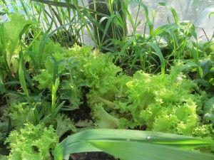 Салат зростаючий в криму, свіжий кримський салатний лист.