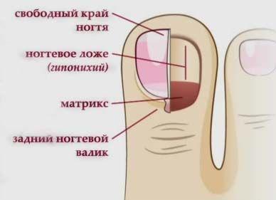 будову нігтя