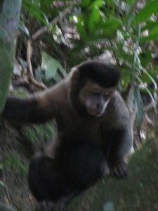 Бразилія мавпи восени в міському парку.